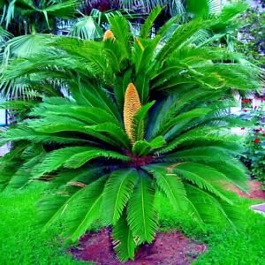 5 King Sago Palm Tree Seeds Cycas revoluta Exotic Tropical Cycad Living Fossil