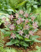 25+ Tricyrtis  Japanese Toad Lily Flower Seeds / Perennial