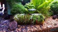 Riccia fluitans on bamboo tube live freshwater aquarium decoration