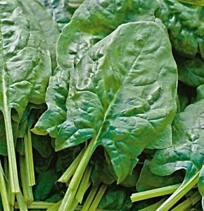 """Spinach """" Amsterdam Reuzenblad """" Seeds, Very Winter Hardy, Giant"""