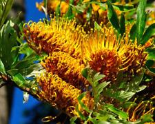 Silk Oak Grevillea robusta 10 Seeds (Free Shipping)