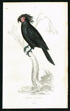 1833 Black Palm Cockatoo Parrot, Hand-Colored Antique Engraving Print - Kidd