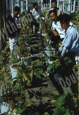 VTG 35mm Glass Slide 1953 South Korea Agriculture Men & Soybean Specimens [C09]
