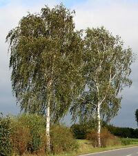 Sandbirke Weißbirke Birke Betula pendula  150 - 200 cm im Container