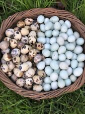 New Listing60 Mixed 30 Coturnix Quail And 30 Celadon Hatching Eggs Assorted Rare Colors