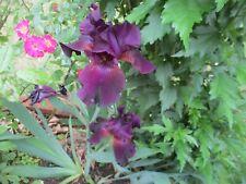 Tall Bearded Iris 'Midnight Treat' - 3 rhizomes