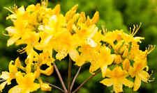 Rhododendron luteum or Azalea ponticum 50 seeds