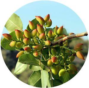 10 echte Pistazien Samen / Pistacia vera / Bio Saatgut / frosthart