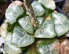 Haworthia correcta 'Andrew', very large leaf, 10 fresh seed 2020, Set No.149