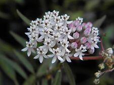 Asclepias perennis | White Aquatic Milkweed | 10_Seeds