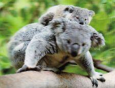 xxl - 3 -D - Magnet: Koala mit Baby auf einem Ast - Koala with joey