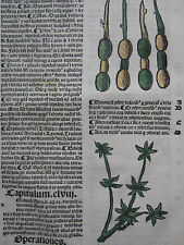 Incunable Leaf Hortus Sanitatis Dittany Colored Woodcut Venice - 1500