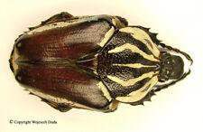 Goliathus goliatus apicalis - female +65mm, nice