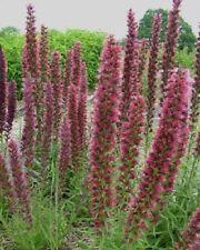 Echium russicum / Red Viper's Bugloss / Hardy short-lived perennial / 15 Seeds