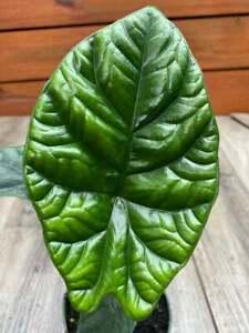 "Alocasia Sinuata in 4"" pot, Quilted Dream"