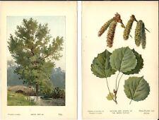 Stampa antica PIOPPO TREMULO ALBERO fiori foglie botanica 1890 Antique print