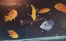 malawi cichlid fish. pseudotropheus acei