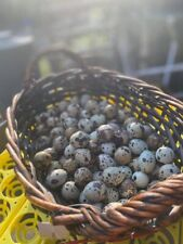 36 + White Cortunix Hatching Eggs Aka : Recessive Whites, A&M