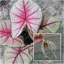 Caladium Bulb Queen of the Leafy Plant ''Kataika'' Colourful Tropical Thailand