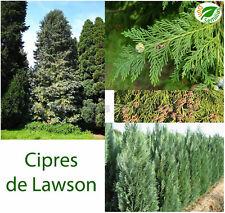 Cipres de Lawson ( Chamaecyparis lawsoniana ) 50 semillas - seeds * Ciprés
