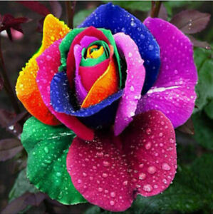 50Pcs Colorful Rainbow Rose Flower Seeds Home Garden Plants Multi-Color