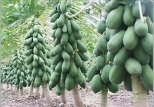 PAPAYA SEEDS - Hybrid Seed - approx 30 seeds.