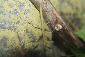 Lot de 12 phasmes bâtons - Stick insects bugs - Livrés dans une boîte plastique