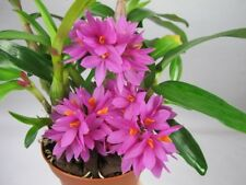 DENDROBIUM HYBRID PLANT RARE HEALTHY HIBIKI GARDEN EYE CATCH AN EXOTIC ORCHID