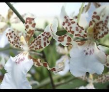 2 Plugs * Oncidium Speckled Spire 'Whisp' - Bare Root Orchid Plant