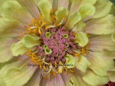 Yellow/Pink Zinnia, Flower Photo 4x6