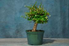 Fat Trunk Fukien Tea Pre-Bonsai Tree! Imported! Prolific Bloomer!