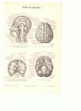 Gehirn des Menschen --- Darstellung - Illustration - alter Druck - 1890er Jahre