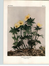 1934 Wildflower Book Plate American Globeflower and Red Baneberry