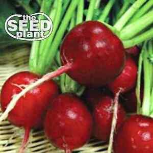 Crimson Giant Radish Seeds - 100 SEEDS NON-GMO