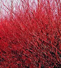 "Dogwood Red Twig 1 Plant 12"" Cornus Stolonifera White Flower Hardy"