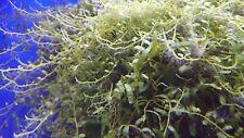 marine aquarium,macro algae,saw tooth caulerpa,(caulerpa serullata)