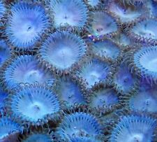 Mmc Live coral Arctic Ice Giant Blue Palys 45-50 Palythoa Paly Zoanthid polyps