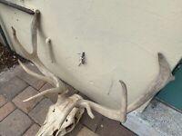 "Wild ELK Rack Small | Sun-Bleached Skull & Antlers | 4 x 4 | 24"" Wide 10""+ Tines"