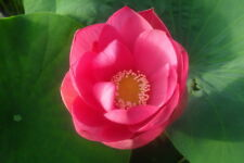 Live Pekinensis Rubra Lotus Tuber Aquatic Plant