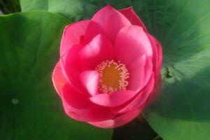 Live Pekinensis Rubra Lotus Tuber Cold Hardy Aquatic Pond Plant