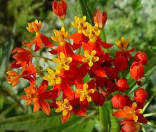 BLOOD FLOWER SCARLET MILKWEED Asclepias Curassavica - 5,000 Bulk  Seeds