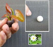 Naturfilter Weiße Mini-Seerose Virginalis Bonsai Knolle + Düngekugel + Infoblatt