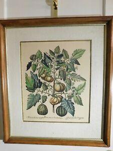 Antique Botanical Hand Colored Etching, Framed