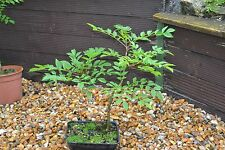 Mountain Ash-Sorbus Acuparia  Good  For Bonsai Cultivation-25 Seeds