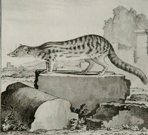 1771 Antique Buffon copper engraving of a FOSSA. MADAGASCAR FAUNA Malagasy Civet
