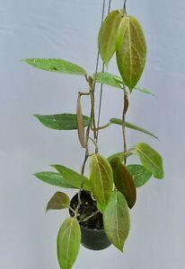 Hoya ut039 [B26F01], 1 pot 20-22 inches