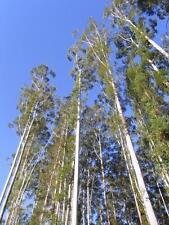 Flooded or Rose Gum  ( Eucalyptus grandis ) 200 Seeds