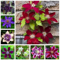 100 PCS Seeds Mixed Hybridas Clematis Climbing Plants Bonsai Flowers Home Garden