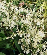"ONCIDIUM SPECKLED SPIRE 'WHISP' NEAR BLOOMING SIZE ORCHID, SHIPPED IN 3"" POT"