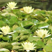 2 gelbe Seerosen C.Welch Pflanzen Deko für den Teich Teichpflanzen Teichpflanze